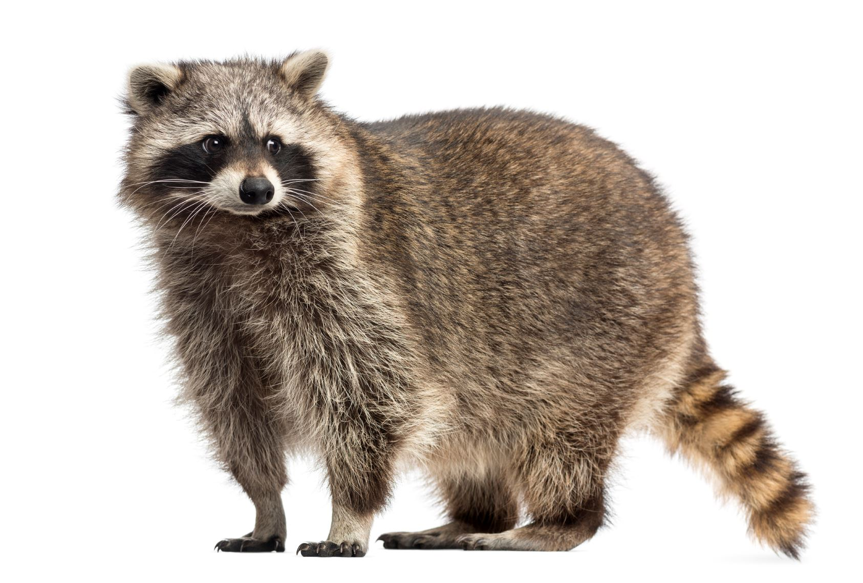 Racoon, Procyon Iotor, standing, isolated on white - Stock image