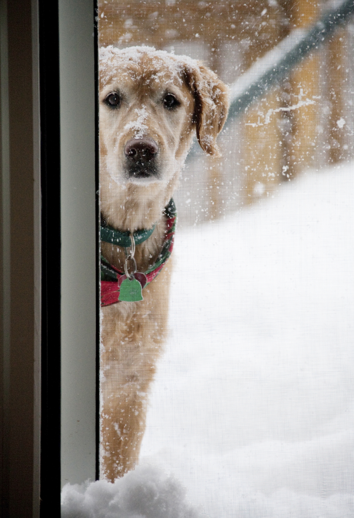 Dog in the snow peaking inside-iStock_000011508085_Medium